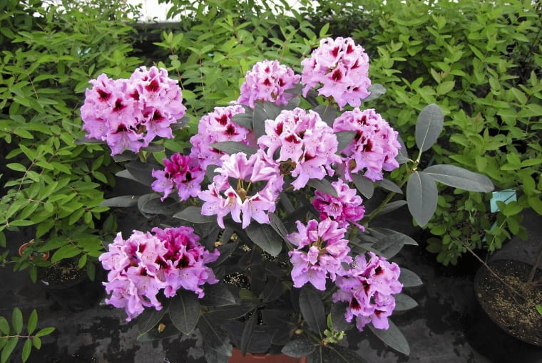 Odmiana 'Królowa jadwiga' wyróżnia się dużymi, kopulastymi kwiatostanami i niespotykanym kolorem kwiatów.
