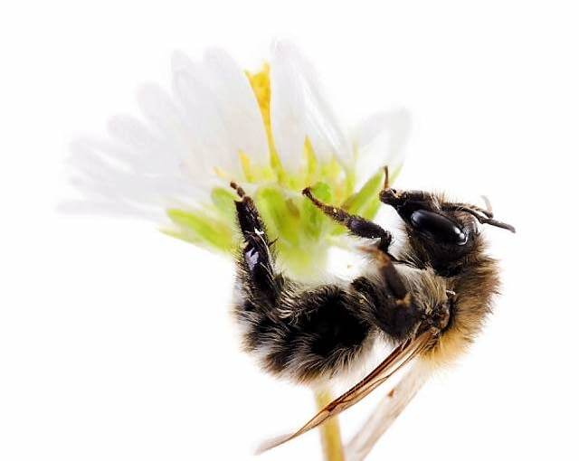 B2D81E mining bee soildwelling bee (Andrena)