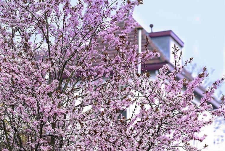 01A953UM - Prunus cerasifera Nigra