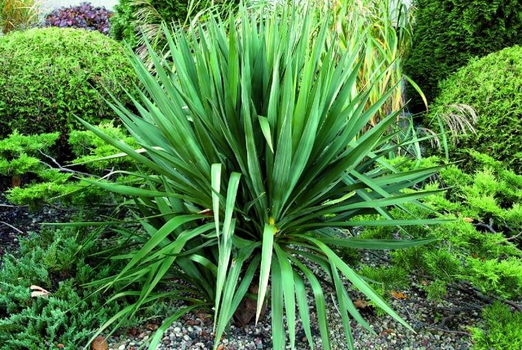 Yucca gloriosa tworzy potężną rozetę stalowozielonych sztywnych liści.