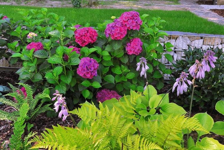Efektowny zestaw kolorów tworzą różowe hortensje, fioletowe dzwonki funkii i cytrynowe paprocie.