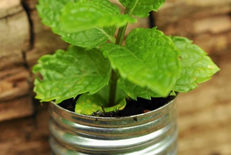 Rośliny doniczkowe: wśród ziołowych aromatów. Mięta, a przede wszystkim jej świeże listki świetnie komponują się z deserami, sosami, sałatkami, napojami. Miętowa herbata znakomicie gasi pragnienie.