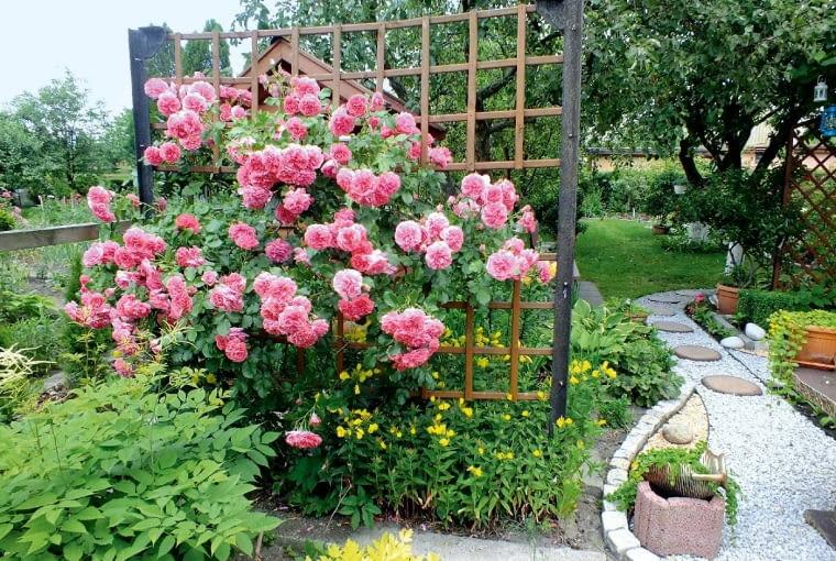 Wspinająca się po drabince róża to chluba naszego ogródka.