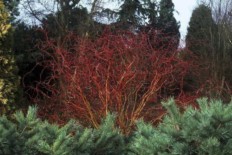 Salix x erythroflexuosa 'Golden Curls'