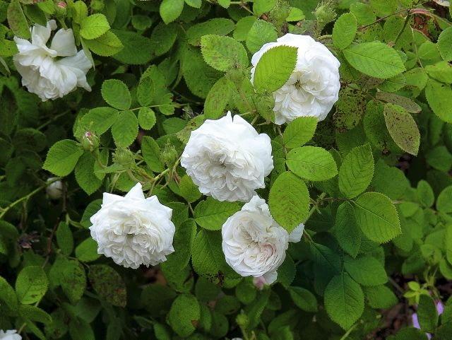 Róża damasceńska 'Mme Le Gras'
