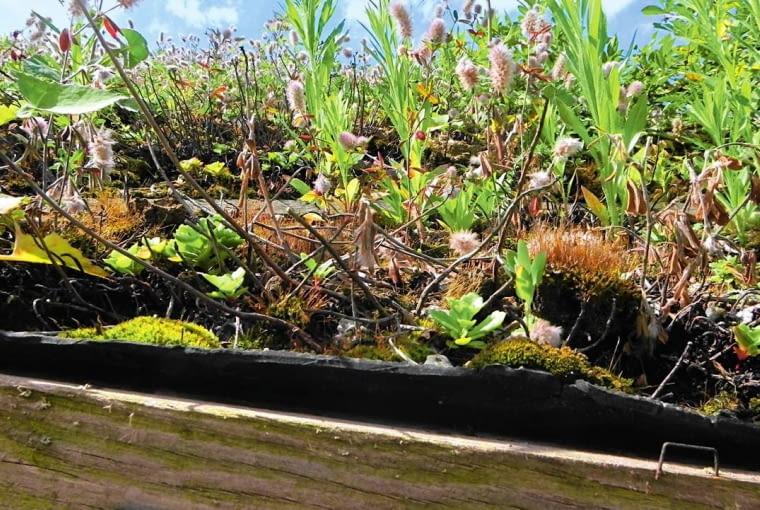 Z CZASEM MIĘDZY ROŚLINAMI NA DACHU wysiewają się dzikie rośliny. Aby zahamować ten proces, podniebnego ogrodu nie należy zbyt obficie podlewać.