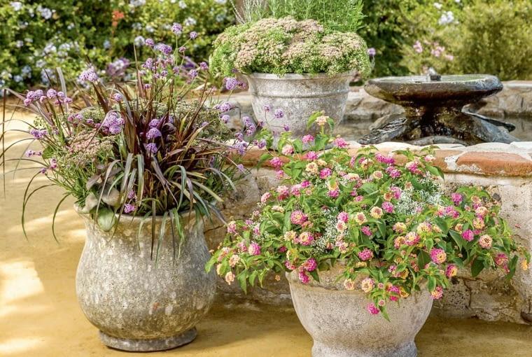 KOMPOZYCJA zaaranżowana w trzech donicach. W jednej rośnie dorodna lantana (Lantana) z białym wilczomleczem (Euphorbia), w drugiej trawa ozdobna z jednoroczną werbeną patagońską (Verbena bonariensis), wtrzeciej zaś kępa rozchodnika (Sedum).