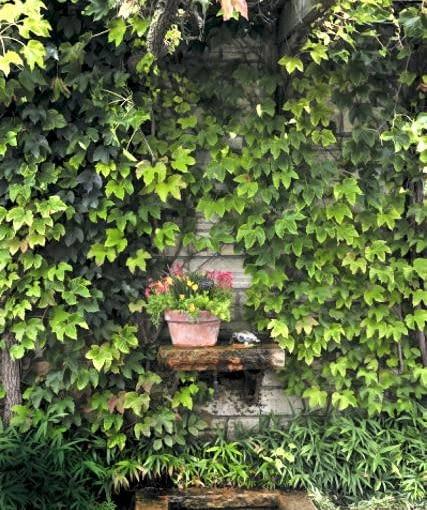 Winobluszcz trójklapowy to najlepsze pnącze do zazieleniania ścian budynków