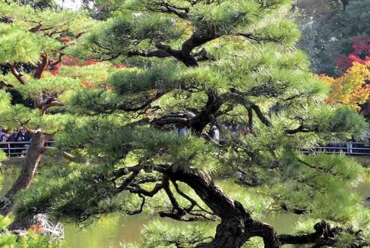 Drzewa, a szczególnie sosny, formowane są tak, by wyglądały na bardzo stare okazy.