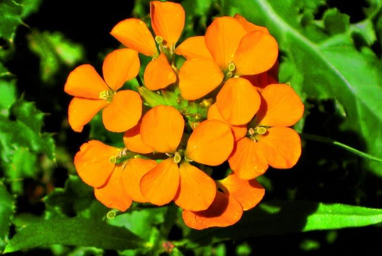 Lak pięknie pachnie iwabi motyle. Jest rośliną dwuletnią. Wysiany latem po przezimowaniu wzimnej szklarni kwitnie wiosną, awysiany wiosną - już po 3 miesiącach, czyli latem. Zazwyczaj ma żółte kwiaty.