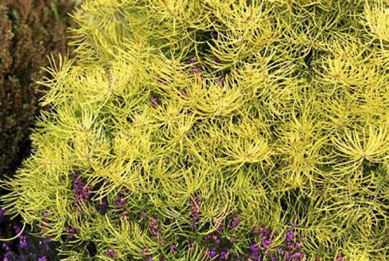Abies concolor 'Wintergold', Colorado Fir and Erica carnea 'Rosantha
