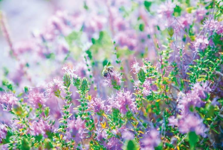 Tymianek pospolity rozwija kwiaty od czerwca do września.