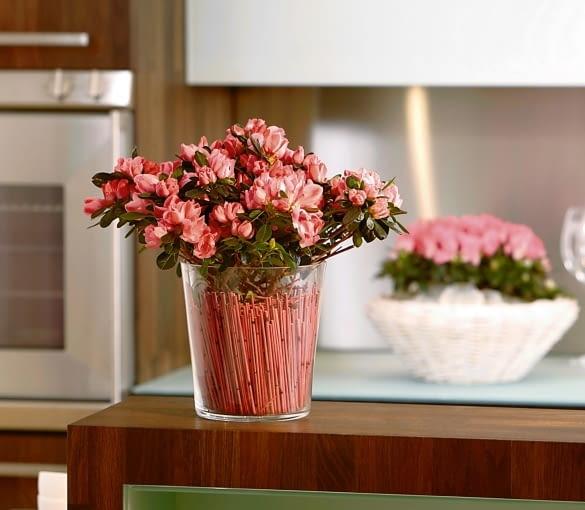 Odmiana 'Cocco' ma pojedyncze dwubarwne kwiaty.