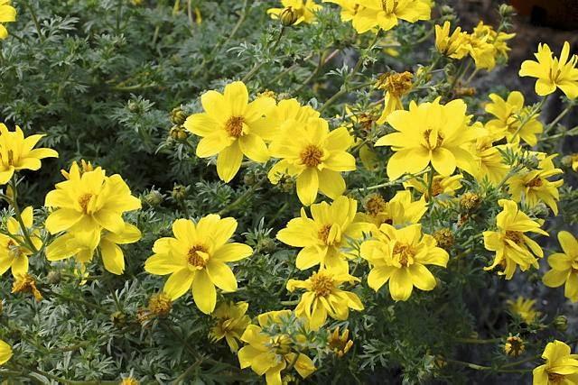 nowości kwiatowe, kwiaty na balkon, Uczep 'Flair'