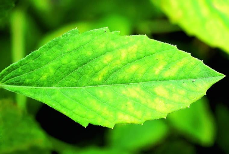 Na blaszkach liści róży chińskiej widać jasne (chlorotyczne) plamy. Przyczyna: niedobory minerałów.