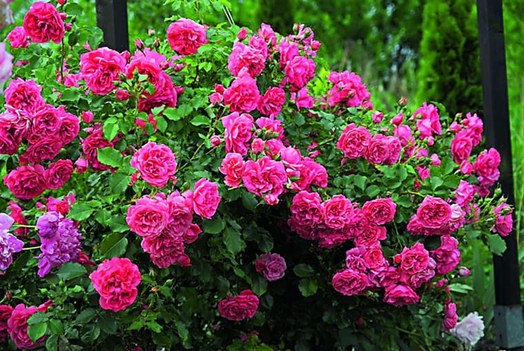 Róże zajmują w moim ogrodzie - i w sercu - miejsce szczególne. Kolekcjonuję je od wielu lat.