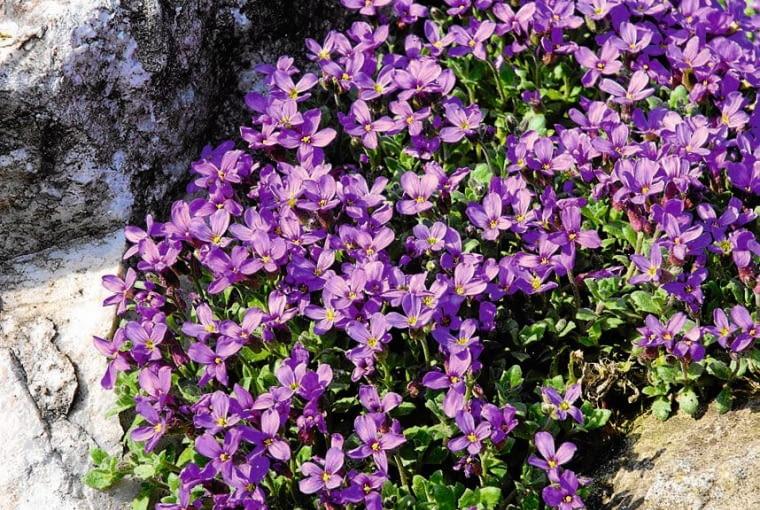 ŻAGWIN OGRODOWY ma tylko 15 cm wysokości, ale rozrasta się bardzo szeroko. Kwitnie w kwietniu i maju.