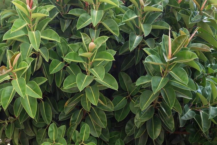 Fikus sprężysty (Ficus elastica) należy do starego repertuaru domowych roślin i nigdy nam się nie znudzi, bo świetnie rośnie, nawet w gorszych warunkach. Potrzebuje światła rozproszonego.