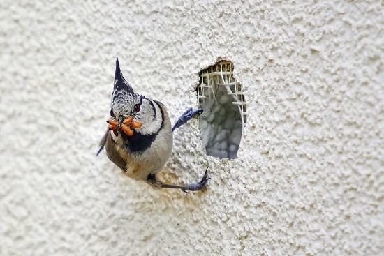 Ocieplenie uszkodzone przez... ptaki