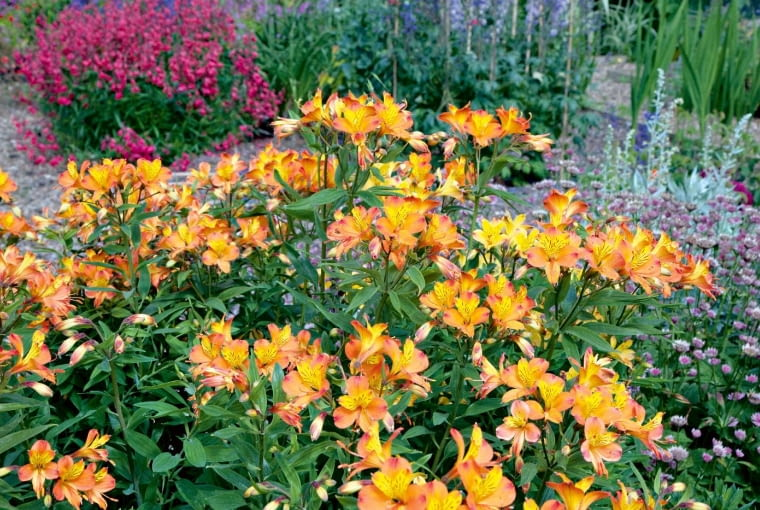Na rabatach alstremerie bujnie rosną, ale w klimacie cieplejszym od naszego. Wysokie odmiany tworzą kwiaty odługości do 10 cm.