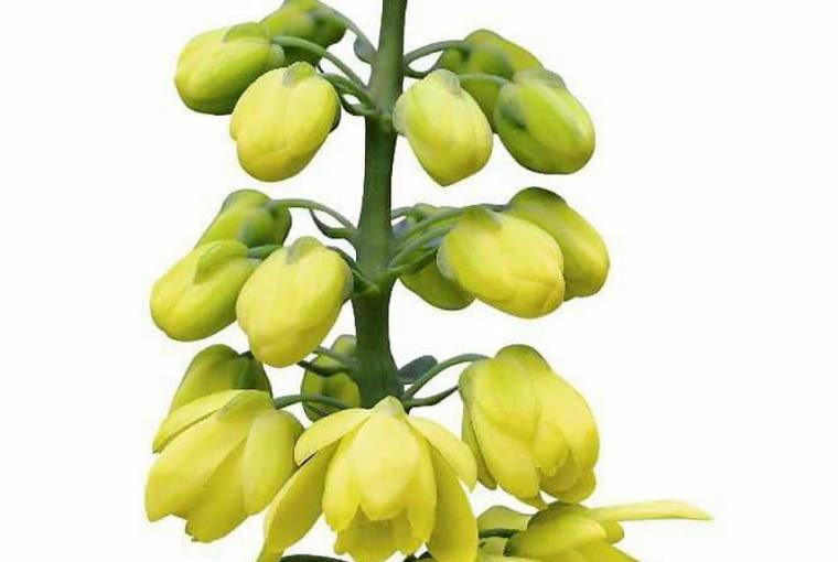 KWIATY MAHONII POŚREDNIEJ mają około 2 cm średnicy, pachną konwalią i tworzą groniaste długie kwiatostany.