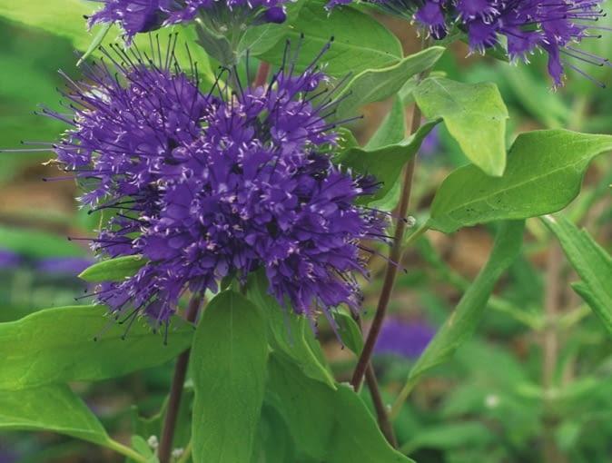 BARBULA KLANDOŃSKA 'Worchester Gold' tworzy kuliste kwiatostany w intensywnym odcieniu fioletu, a jej młode liście są złotawe.