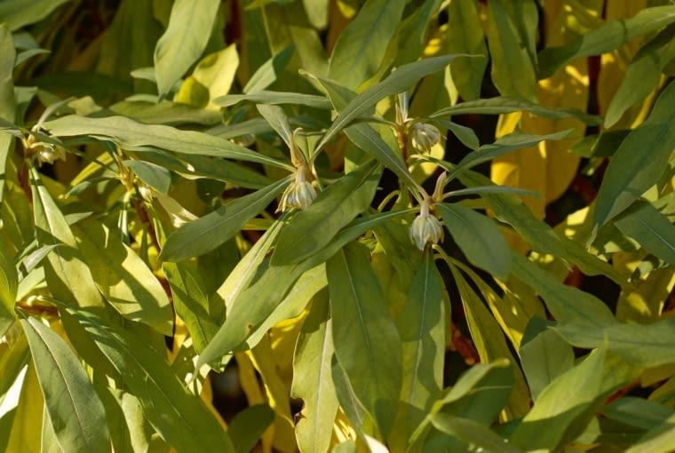 Liście wchłodnym klimacie jesienią żółkną iopadają. Wciepłych rejonach pozostają zielone cały rok.