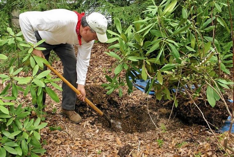 Różaneczniki to jedne z podstawoych roślin na wrzosowisko. Sadzimy je na rabacie z wcześniej przygotowanym, kwaśnym podłożem.