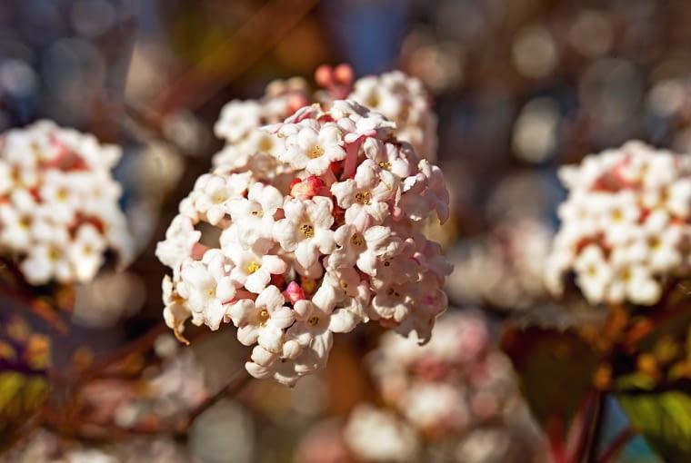 Kalina bodnantska, inaczej bodnanteńska (Viburnum bodnantense) tworzy pachnące kwiaty pod koniec zimy.