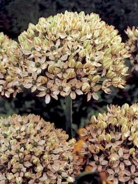 Czosnek Nigrum. Kwiaty cebulowe