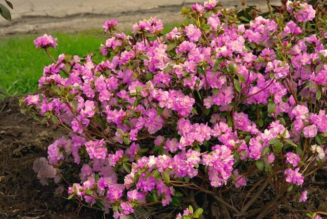 Róż kwiatów różanecznika 'April Reign' jest bardzo delikatny. To jedna z najbardziej odpornych na mróz odmian