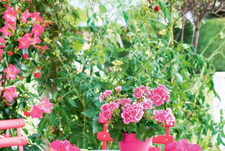 Na balkonie miłośnika pelargonii zamieszkały pelargonia bluszczolistna (wwiszącej donicy) irabatowa (na stole).
