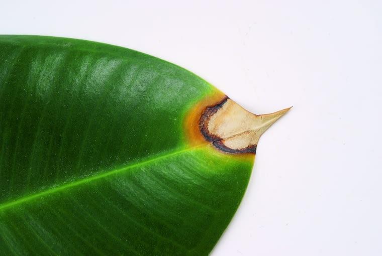 Końce liści fikusa żółkną, brązowieją i zasychają. Przyczyna: antraknoza.