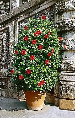 Silnie rozkrzewiony okaz obficie kwitnie. Trzeba mu zapewnić dużą stabilną donicę.