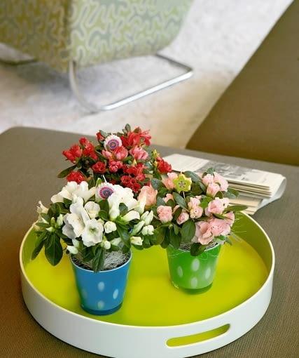 Ogrodnicy potrafią sprawić, by bardzo młode rośliny obficie kwitły. Dzięki temu do kwiaciarń trafiają doniczkowe miniaturki o wysokości około 10 cm.