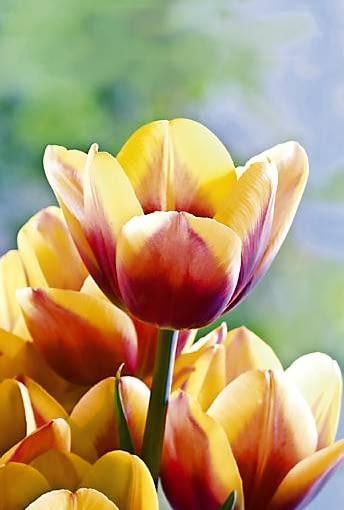 Tulipan 'Rood Geel', inaczej 'Tivoli Dream', zakwita w środku maja. To zdrowa i odporna odmiana tulipana dorastająca do ok. 35 cm wysokości. Doskonale nadaje się na obrzeża rabat oraz do sadzenia w pojemnikach