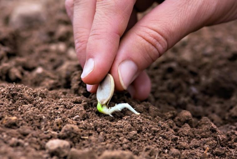 Siew podkiełkowanych nasion przyspiesza rozwój roślin (o ile warunki pogodowe na to pozwolą).