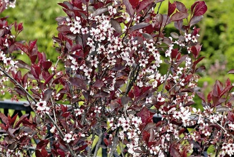 01A94C2K - Prunus cistena