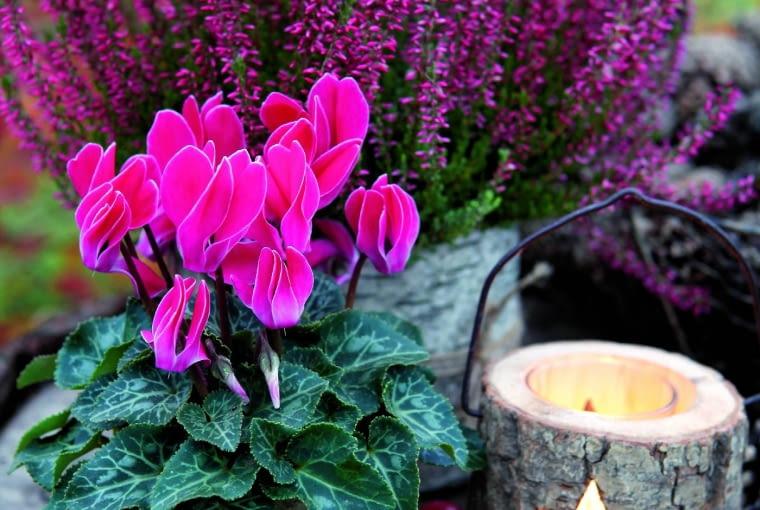 Wystarczy jeden kwitnący cyklamen ijuż robi się weselej. Niestety, tylko do pierwszych przymrozków... Potem wnosimy roślinę do domu.