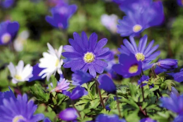 Kwiaty cebulowe. Zawilce greckie doskonale rosną pod drzewami