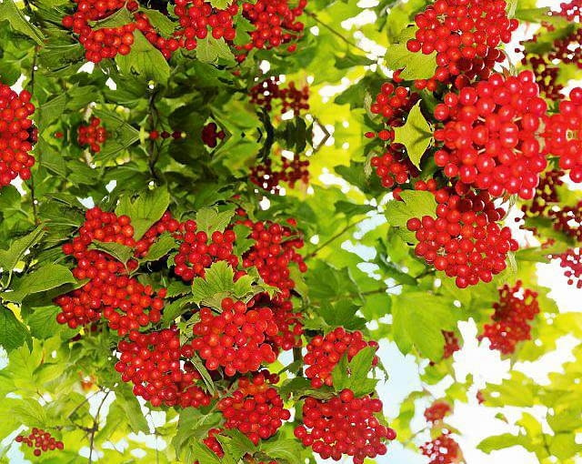 Bunches of red viburnum in the foliage. SLOWA KLUCZOWE: berries autumn red bush plant fruit branch leaf close-up sky nature sunlight color outdoors bunch ripe blue green twig food beauty agriculture macro garden lit rural refreshment bright summer sun backgrounds photography focus selective rose horizontal viburnum water abundance taste berries autumn red bush plant fruit branch leaf close-up sky nature sunlight color outdoors bunch ripe blue green twig food beauty agriculture macro garden lit rural refreshment bright summer sun backgrounds photography focus selective rose horizontal viburnum water abundance taste