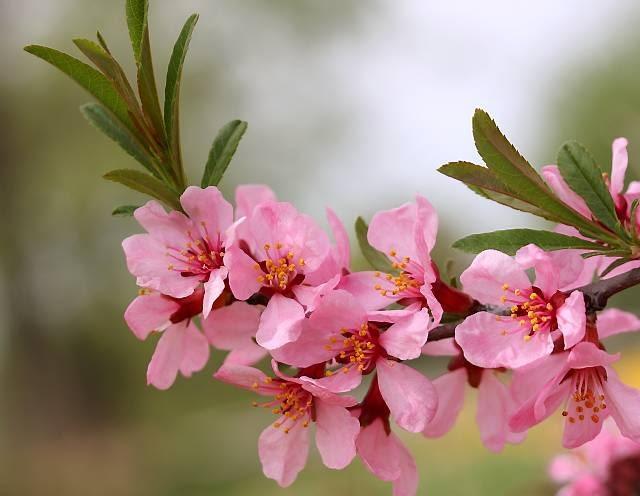 Pora kwitnienia migdałowca karłowego przypada na kwiecień. Krzew ten osiąga 1,5 m wysokości.
