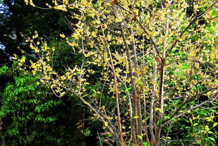 Zimokwiat w Chinach dorasta do ok. 10 m, w Polsce zaś tworzy 2-metrowe krzewy./Fot. Daderot