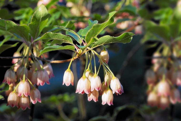Enkianthus campanulatus (Pagoda Bush). Close up of bell shaped flowers with stripes