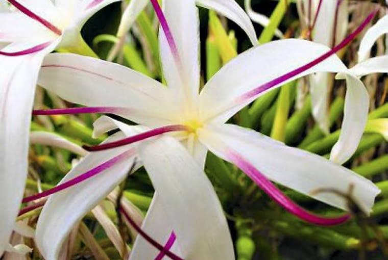 Lilia pajęcza - Krynka (Crinum)