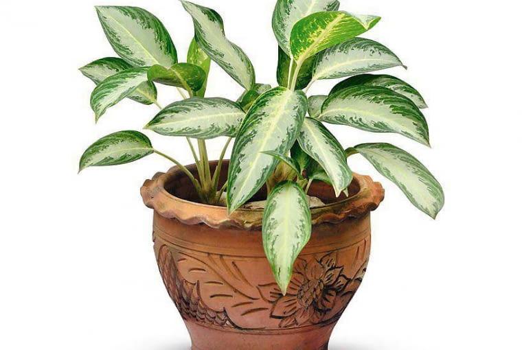 AGLONEMA to jedna z odporniejszych roślin. Lubi półcień i umiarkowanie wilgotne podłoże.