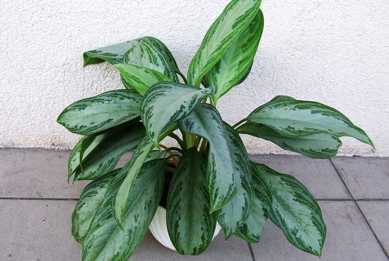 Aglonema (Aglaonema commutatum) dorasta do wysokości 50 cm, ma mięsiste, wzorzyste liście, skupione w rozetach. Dobrze rośnie w zacienionych miejscach.