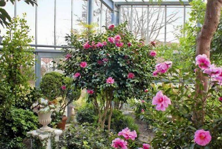 Camellias in the glasshouse with subtropical climate, Begonias in an urn on a plinth and a gravel path with stepping stones winds through the planting. The climate fits tender evergreen shrubs - Wintergarten, Germany