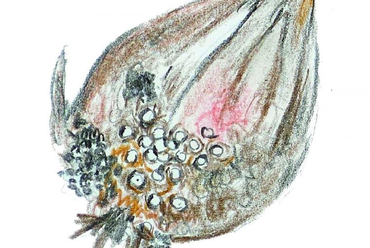 Na łuskach cebuli powstały brązowe wgłębione plamki. Przyczyna: rozkruszki.