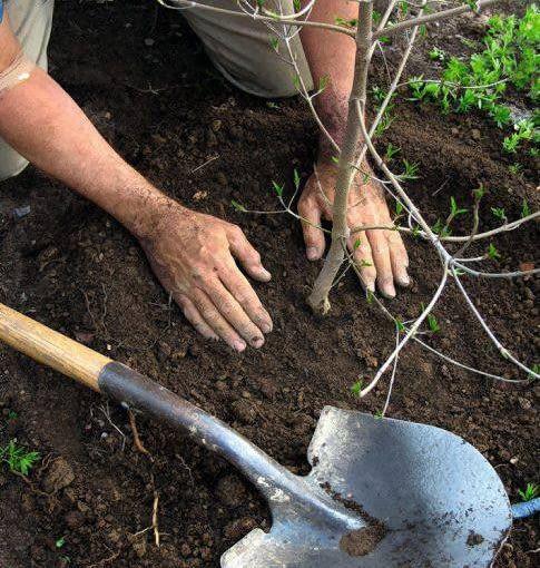 Wokół drzewek i krzewów warto robić zagłębienia, tzw. misy - pozwolą one dużej utrzymać wodę.